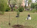 Tilia argentea - szép nagyra tud nőni