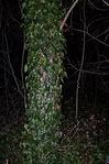 Szalag a rejtekadó fán