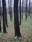 """A fák """"haboztak"""", ..."""